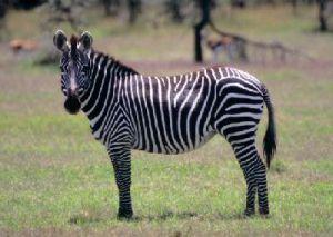 zebra_burchell_grevy