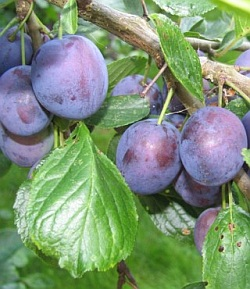 3272-prunus-domestica-stanley-plum-tree1