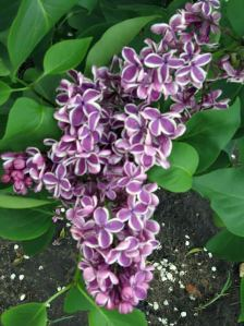lilacshrub